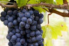 σταφύλια τομέων που παράγουν το κόκκινο κρασί Στοκ Εικόνες