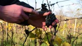 Σταφύλι αμπέλων διαθέσιμο Ο καλλιεργητής κρασιού ελέγχει τα σταφύλια αμπέλων Σταφύλια αμπέλων για το κρασί πάγου απόθεμα βίντεο