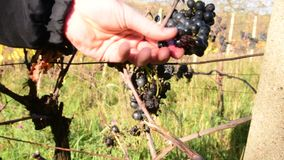 Σταφύλι αμπέλων διαθέσιμο Ο καλλιεργητής κρασιού ελέγχει τα σταφύλια αμπέλων Σταφύλια αμπέλων για το κρασί πάγου φιλμ μικρού μήκους