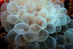 σταφύλι κοραλλιών φυσαλίδων Στοκ Εικόνα