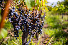 Σταφύλια για το κόκκινο κρασί στην άμπελο στοκ εικόνα