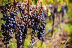 Σταφύλια για το κόκκινο κρασί στην άμπελο Στοκ Φωτογραφία