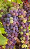 Σταφύλια κρασιού έτοιμα για τη συγκομιδή Στοκ Εικόνες