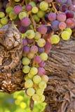 Σταφύλια κρασιού έτοιμα για τη συγκομιδή Στοκ Εικόνα