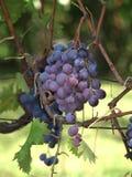 Σταφύλια κρασιού στην άμπελο Στοκ εικόνα με δικαίωμα ελεύθερης χρήσης