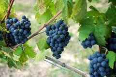 Σταφύλια κόκκινου κρασιού στην παλαιά άμπελο, Tuscan Στοκ φωτογραφίες με δικαίωμα ελεύθερης χρήσης