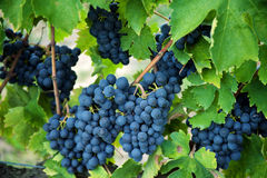Σταφύλια κόκκινου κρασιού στην παλαιά άμπελο, Tuscan Στοκ Φωτογραφία