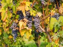 Σταφύλια κόκκινου κρασιού στον αμπελώνα Στοκ φωτογραφία με δικαίωμα ελεύθερης χρήσης
