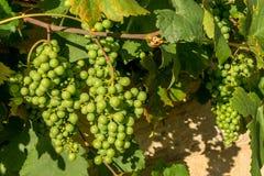Σταφύλια - Franconian κρασί Στοκ Εικόνες