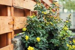 Σταφύλι του Όρεγκον λουλουδιών, ανθίζοντας aquifolium Mahonia Aquifol Mahonia Στοκ Εικόνα