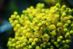 Σταφύλι του Όρεγκον λουλουδιών, ανθίζοντας WI Όρεγκον-σταφυλιών aquifolium Mahonia Στοκ εικόνα με δικαίωμα ελεύθερης χρήσης