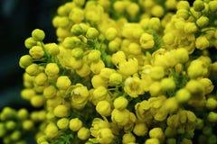 Σταφύλι του Όρεγκον λουλουδιών, ανθίζοντας WI Όρεγκον-σταφυλιών aquifolium Mahonia Στοκ εικόνες με δικαίωμα ελεύθερης χρήσης