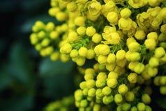 Σταφύλι του Όρεγκον λουλουδιών, ανθίζοντας WI Όρεγκον-σταφυλιών aquifolium Mahonia Στοκ Εικόνες