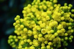 Σταφύλι του Όρεγκον λουλουδιών, ανθίζοντας WI Όρεγκον-σταφυλιών aquifolium Mahonia Στοκ φωτογραφία με δικαίωμα ελεύθερης χρήσης