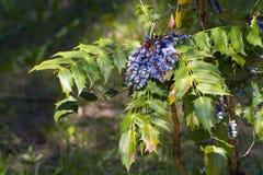 Σταφύλι του Όρεγκον (aquifolium Mahonia) Στοκ φωτογραφίες με δικαίωμα ελεύθερης χρήσης