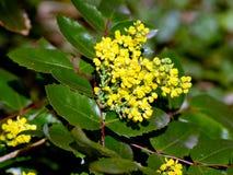 Σταφύλι του Όρεγκον (aquifolium Mahonia) Στοκ εικόνα με δικαίωμα ελεύθερης χρήσης