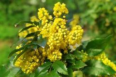Σταφύλι του Όρεγκον aquifolium Mahonia Στοκ Φωτογραφίες