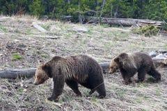 Σταχτιές αρκούδες στο εθνικό πάρκο Yellowstone, Ουαϊόμινγκ Στοκ φωτογραφίες με δικαίωμα ελεύθερης χρήσης