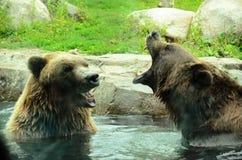 Σταχτιές αρκούδες που παίζουν - που φωνάζουν στοκ εικόνες