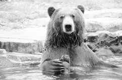 Σταχτιές αρκούδες Στοκ φωτογραφία με δικαίωμα ελεύθερης χρήσης