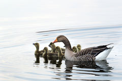 Σταχτόχηνα που κολυμπά στη λίμνη στοκ εικόνα με δικαίωμα ελεύθερης χρήσης
