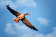 Σταχτόχηνα Anser anser κατά την πτήση μπλε ουρανός Στοκ Φωτογραφία