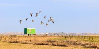 Σταχτόχηνα Sibirian στην ανατολή Frisia Στοκ εικόνα με δικαίωμα ελεύθερης χρήσης