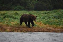 Σταχτύς αντέξτε στην Αλάσκα στοκ εικόνα