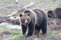Σταχτύς αντέξτε στο εθνικό πάρκο Yellowstone, Ουαϊόμινγκ Στοκ Εικόνες