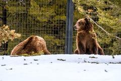 Σταχτύς αντέξτε το χειμώνα με την ψύχρα παιχνιδιού ζωής χιονιού styleeat Στοκ Φωτογραφία