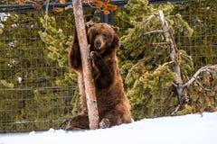 Σταχτύς αντέξτε το χειμώνα με την ψύχρα παιχνιδιού ζωής χιονιού styleeat Στοκ Εικόνες