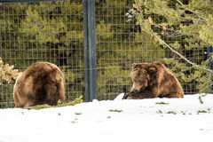Σταχτύς αντέξτε το χειμώνα με την ψύχρα παιχνιδιού ζωής χιονιού styleeat Στοκ εικόνες με δικαίωμα ελεύθερης χρήσης
