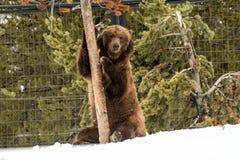 Σταχτύς αντέξτε το χειμώνα με την ψύχρα παιχνιδιού ζωής χιονιού styleeat Στοκ Εικόνα
