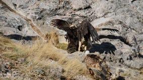 Σταχτύς γύπας και νέα αυτοκρατορική πάλη heliaca Aquila αετών απόθεμα βίντεο