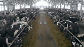 Σταύλος με μια μετάβαση που γεμίζουν με τις αγελάδες απόθεμα βίντεο