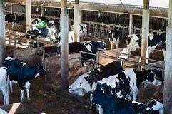 Σταύλος με τα βοοειδή του Χολστάιν στοκ φωτογραφίες με δικαίωμα ελεύθερης χρήσης