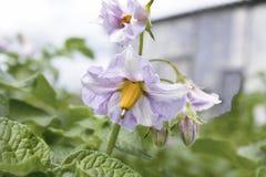 Στα άνθη πατατών κήπων Στοκ εικόνα με δικαίωμα ελεύθερης χρήσης