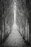 Στα δέντρα σειρών λευκών Στοκ Εικόνες