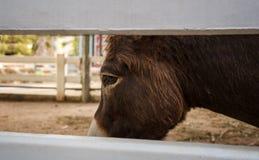 Στα μάτια του μικρού αλόγου που φαίνεται είναι λυπημένος και ενοχλημένος Στοκ φωτογραφίες με δικαίωμα ελεύθερης χρήσης