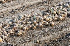 Στα ξεραίνοντας κρεμμύδια τομέων από τον περίβολο Στοκ φωτογραφίες με δικαίωμα ελεύθερης χρήσης