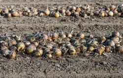 Στα ξεραίνοντας κρεμμύδια τομέων από τον περίβολο Στοκ Εικόνα