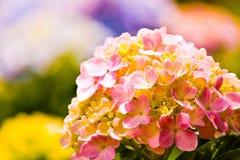 στα ρόδινα όμορφα hortencias κήπων στοκ φωτογραφίες
