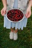 Στα χέρια του κοριτσιού ένα μεγάλο τρυπητό των φρέσκων κερασιών Μια νέα συγκομιδή των κερασιών με το νερό μειώνεται Φωτογραφία στ Στοκ φωτογραφία με δικαίωμα ελεύθερης χρήσης