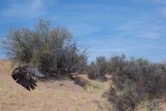 στεμμένος αετός Στοκ Φωτογραφίες