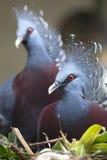 Στεμμένο Βικτώρια περιστέρι της Νέας Γουϊνέας (Goura Βικτώρια) Στοκ Εικόνες