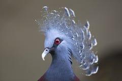 Στεμμένο Βικτώρια περιστέρι της Νέας Γουϊνέας (Goura Βικτώρια) Στοκ Εικόνα