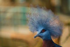 Στεμμένο πουλί Sclater στοκ εικόνα