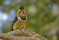 Στεμμένο barbet στο ραβδί που εξετάζει σας Στοκ φωτογραφία με δικαίωμα ελεύθερης χρήσης