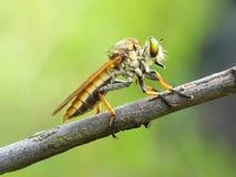 στενά ακραία έντομα μυγών άλλος αρπακτικός ληστής επάνω Στοκ Φωτογραφίες