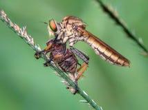 στενά ακραία έντομα μυγών άλλος αρπακτικός ληστής επάνω στοκ φωτογραφία με δικαίωμα ελεύθερης χρήσης